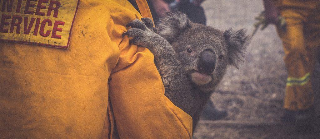 Avustralya yanıyor, binlerce koala öldü