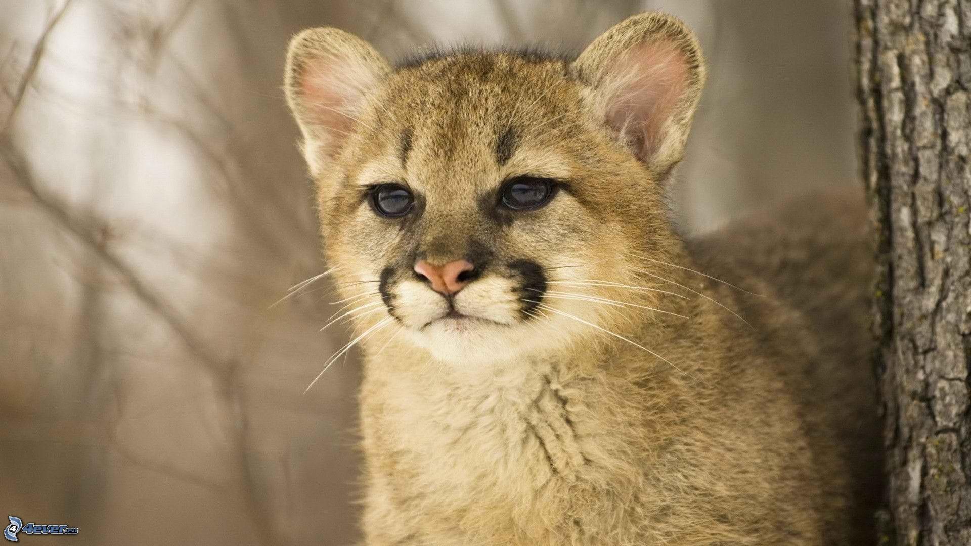 Kedi Diye Sahiplendi Puma Yavrusu Çıktı