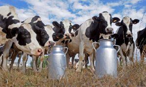 Süt Banka Milyarlarını Kaptırdılar!