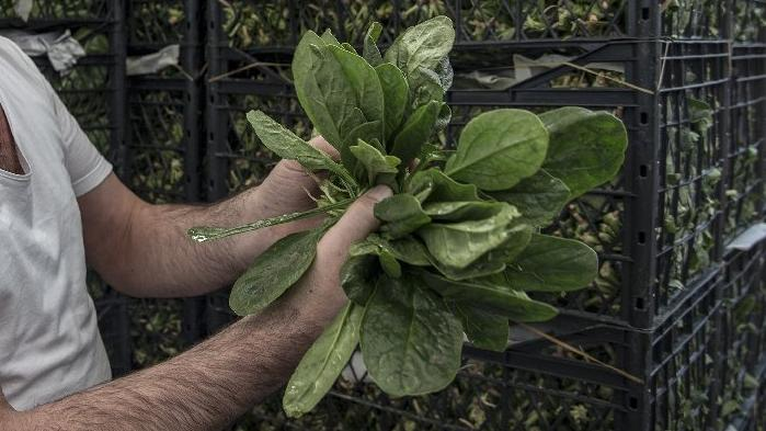 İl Tarım Müdürlüğünden Zehirli Ispanak Açıklaması