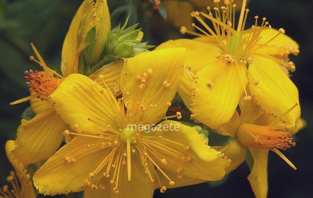 Sarı Kantaron faydaları nelerdir